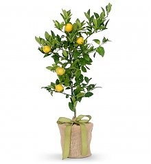 Home Decor: Meyer Lemon Tree