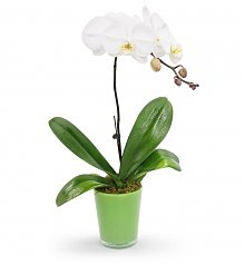 Plants: Pure White Orchid